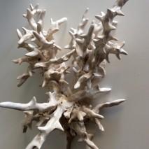 Corallo bianco